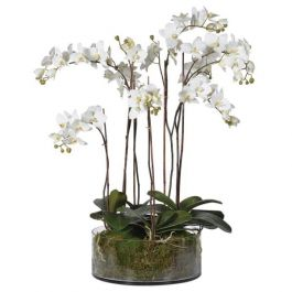 White Orchid Phalaenopsis Plants with Moss in Shallow Glass Cylinder Bowl